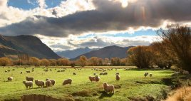 Sunny Sheep Pastures near Kingston