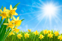daffodils-against-blue-sky-spring-narcissus-flowers-green-grass-sunny-45601179